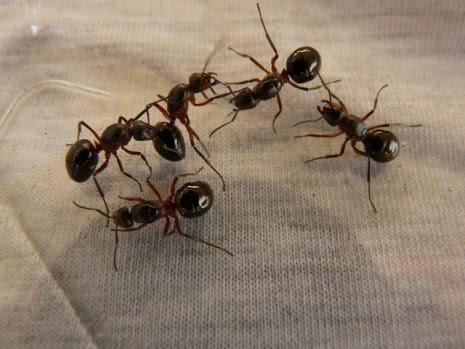 Image result for semut di rumah