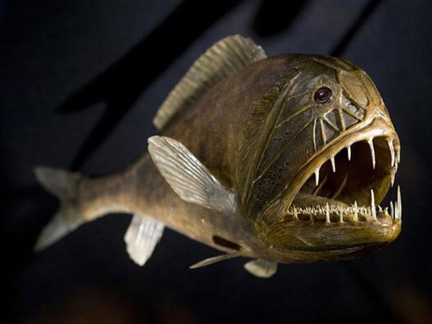eixe-ogro (Anoplogaster cornuta), comum em grandes profundidades, é visto em exposição em 2010 em Dresden, na Alemanha, sobre animais. (Foto: Robert Michael/AFP)