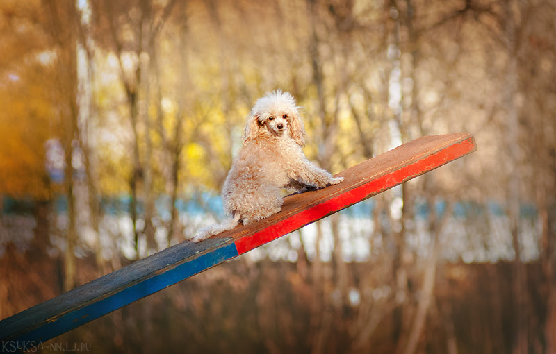 small_poodle_by_ksuksa_raykova-d4rgqpg