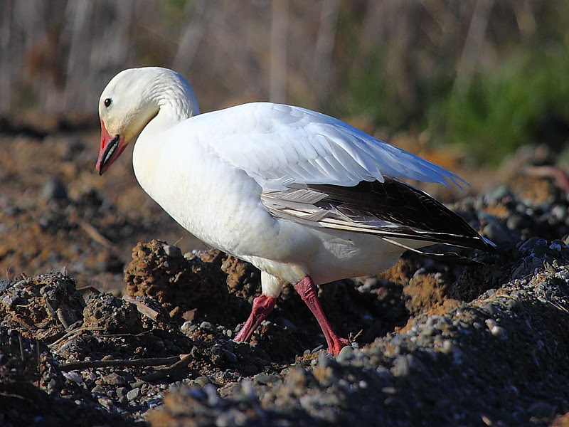 IMG_8906 Snow Goose, Sacramento NWR