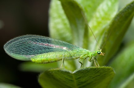MONTESSORI ZOOLOGY : Insects - Lacewing ~ Pinegreenwoods
