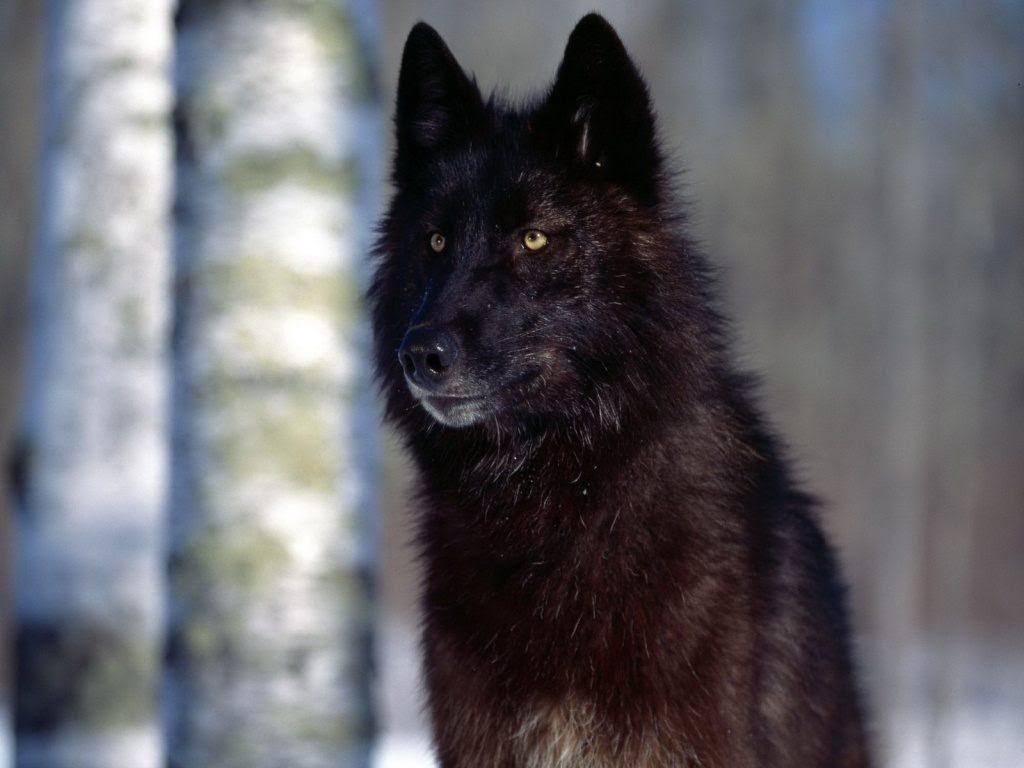 Lobo Negro Salvaje Imágenes Y Fotos