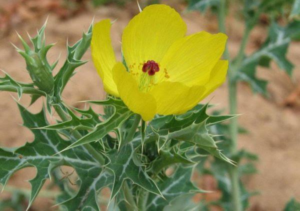 230-plantas-medicinales-mas-efectivas-y-sus-usos-cardo-santo-planta