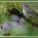 junco.nest.fledged.c.crawford