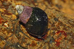 Littorina scutulata 2881 cropped.jpg