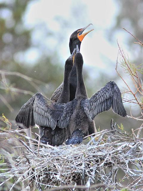 Double-crested Cormorant feeding chicks 01-20131210