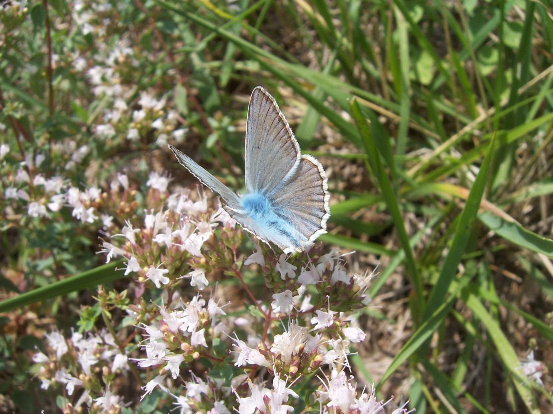 Photo de papillon Azuré du baguenaudier
