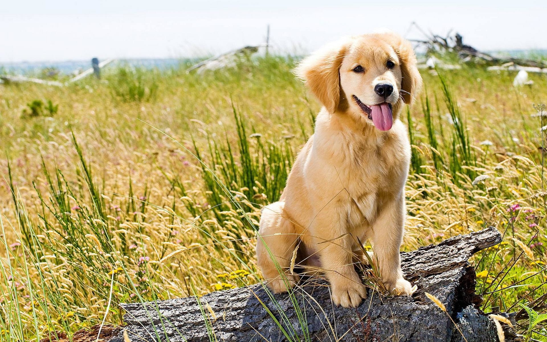 Awesome Golden Retriever Wallpaper Aesthetic Tumblr Cute Puppies Wallpaper