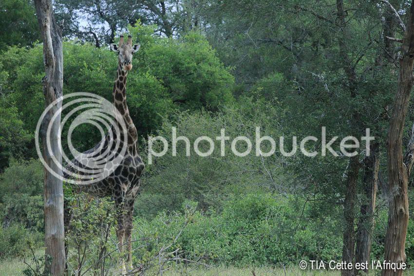 photo 91SVGiraffe-tiaphotoblog.jpg