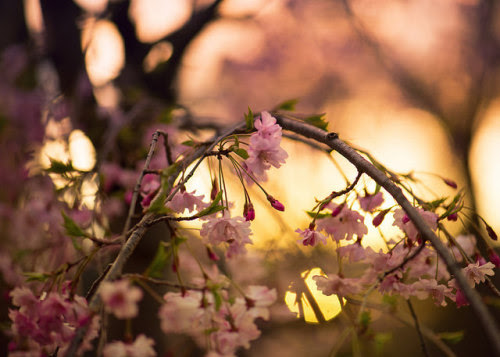 overwrought pink cherry sunset by amy buxton on Flickr.