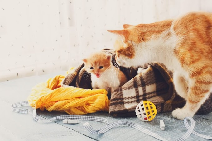 ¿Las gatas tienen menopausia?