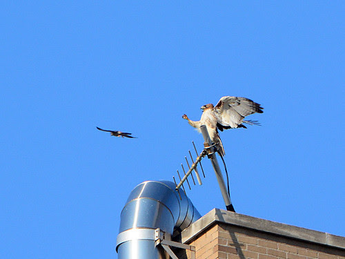 Hawk vs Kestrel