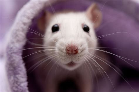Pet Rat Breathing Problems   Diagnosis and Treatment
