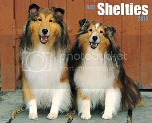 Shelties,Shetland Sheepdog,Pet dog
