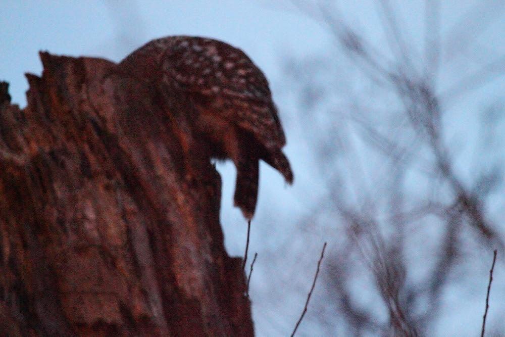 Barred Owl Hunt