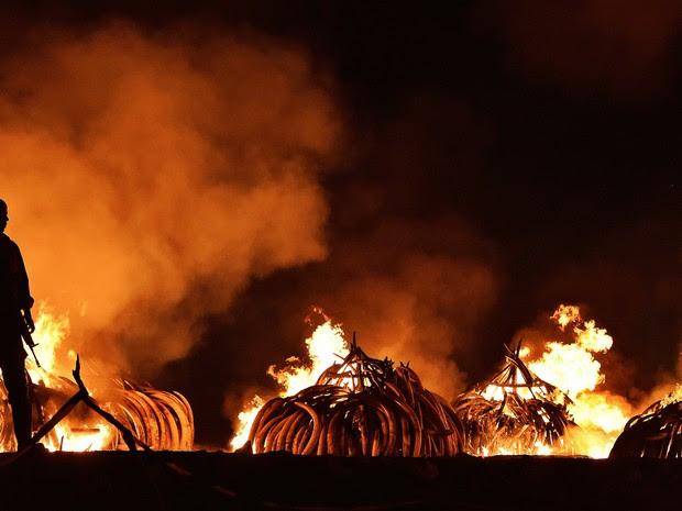 Toneladas de marfim são queimadas no Quênia para combater a caça de elefantes (Foto: Carl de Souza/AFP)