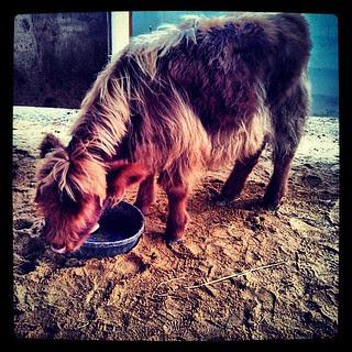 Phoebe the calf #farmanimals #highlandcattle #cow