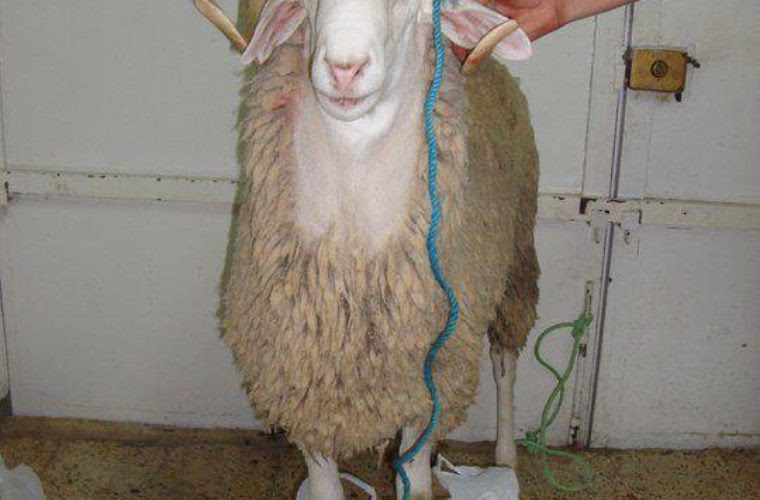 Algerian Goat Funny Pictures Quotes Memes Funny Images Funny
