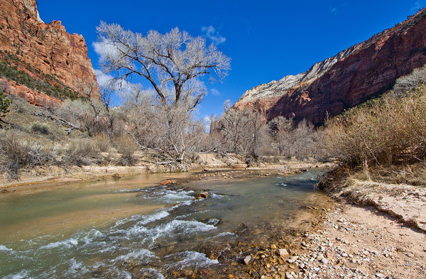 silver tree branches, blue sky, surrounded by Zion's red rocks