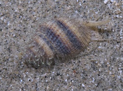 Unidentified whelk (Family Nassariidae)