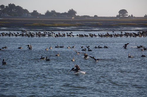 Landing pelican by blmurch.