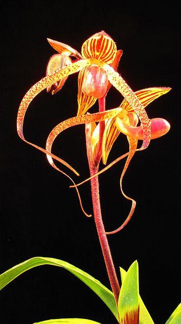 Paphiopedilum 'Chiu Hua Dancer' ( gigantifolium x sanderianum), via Flickr.