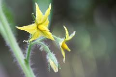 garden flowers  043