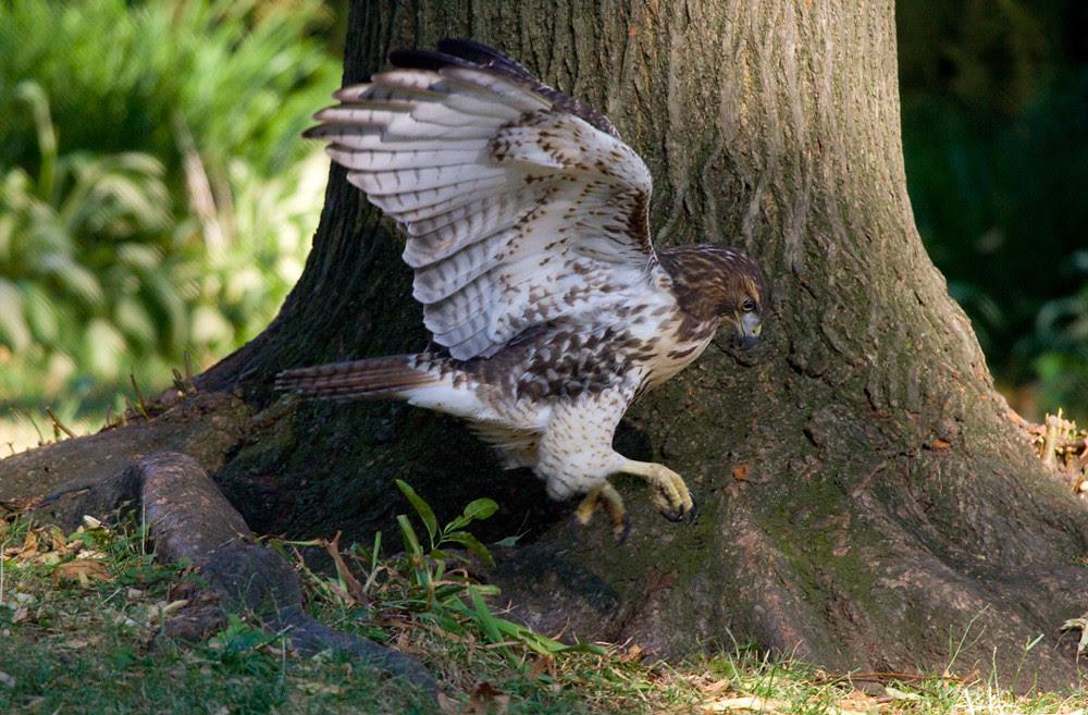HawkPlay