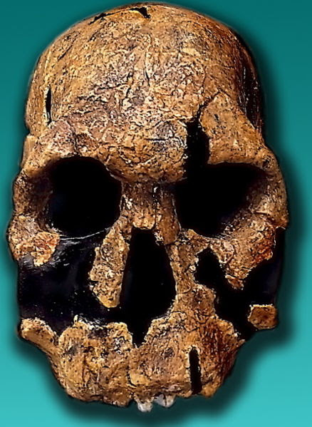 Réplica del cráneo KNM-ER 1470