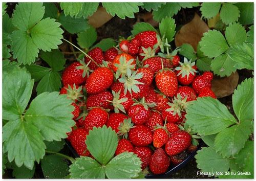 Las fresas de Ilu