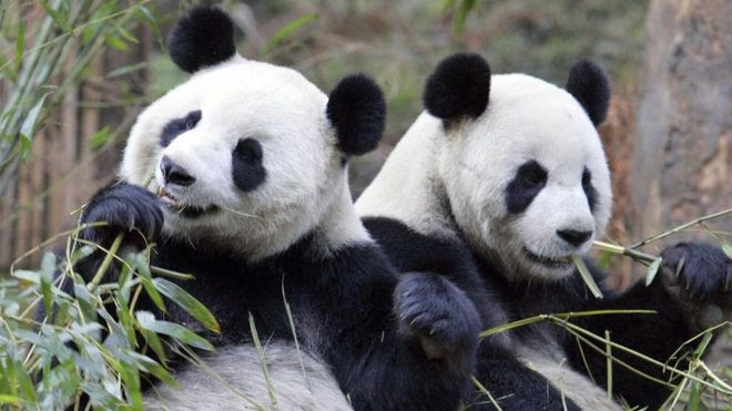 Giant pandas eat bamboo at the China Conservation and Research Centre
