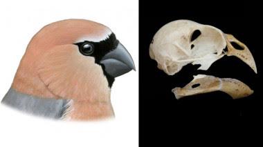 <p>Reconstrucción de <em>Pyrrhula crassa</em> (izquierda) y cráneo reconstruido (derecha). / Pau Oliver</p>