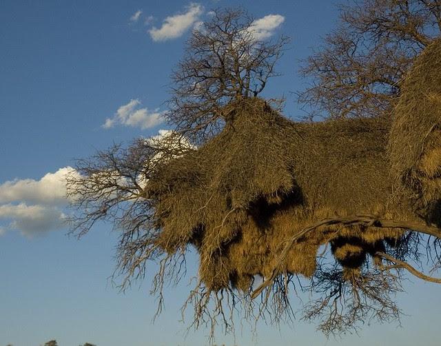 Social Weaver Birds' Nest