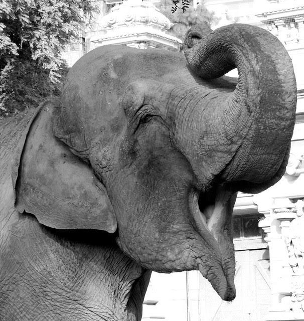 Elefante en Blanco y Negro 2