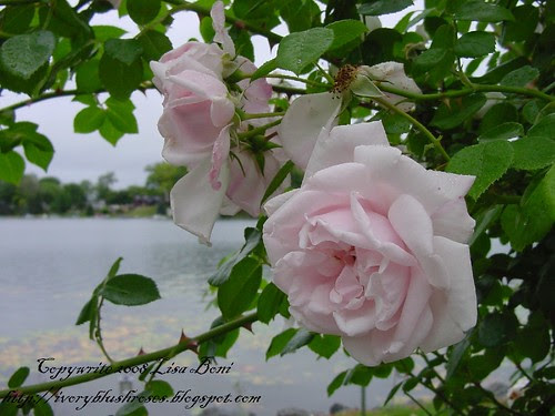 New Dawn Roses at the Lake
