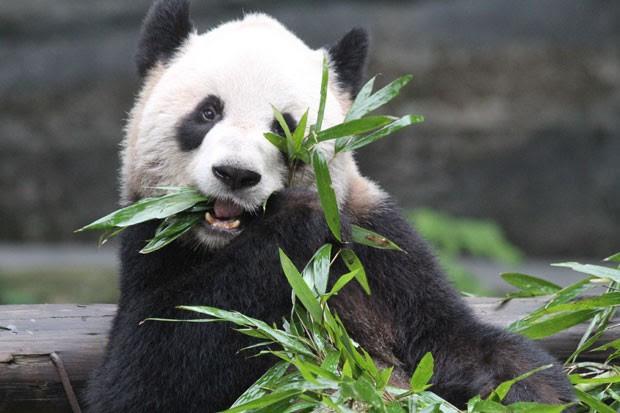Espécime fêmea de panda-gigante que tem o nome de Er Shun (Foto: Divulgação/FedEx)