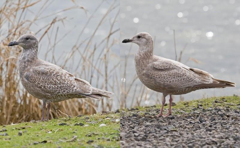 Thayer's Gull ~ Larus thayeri ~ California - Feb'15 ... |Thayers Gull