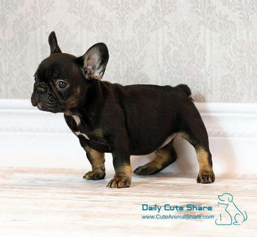Bulldog Puppies Archives Cuteanimalsharecom