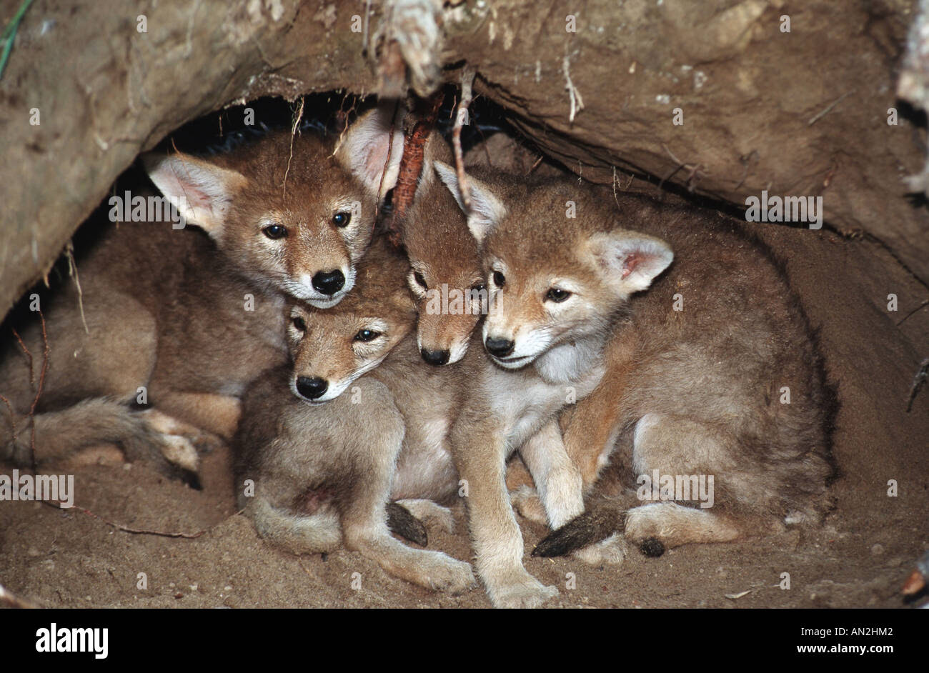 coyote (Canis latrans), puppies in the den, USA, Montana ...
