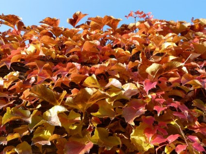 Asma Yaprakları şarap Ortak Boyama Sonbahar ücretsiz Fotoğraflar