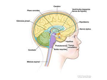 Anatomía del interior del encéfalo que muestra la glándula pineal, la hipófisis, el nervio óptico, los ventrículos (con el líquido cefalorraquídeo en color azul) y otras partes del encéfalo.