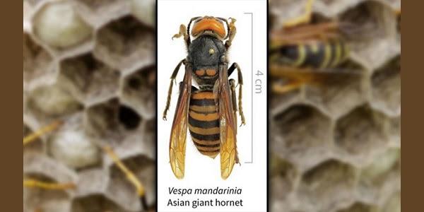 Asia's 'murder hornet' lands in U.S. for 1st time