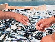 Acciughe pescate