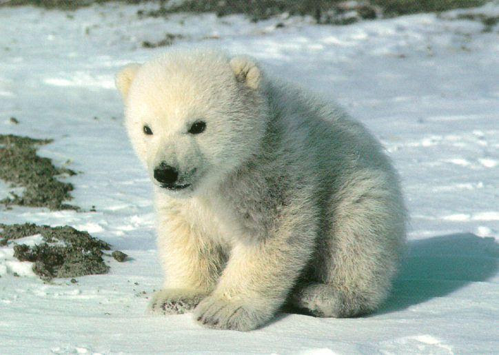 pictures of polar bears and cubs