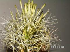 Guanyin bamboo (4)