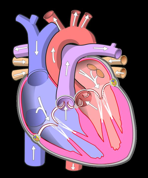 diadtocsucmoi: human heart diagram with labels