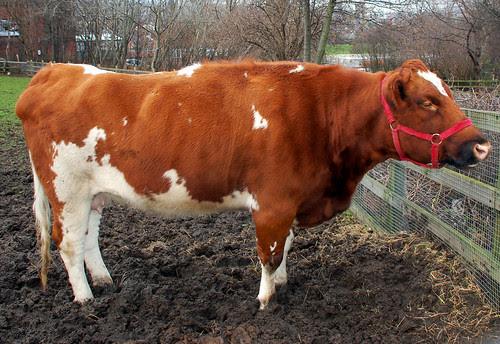 Female Cow in Mud