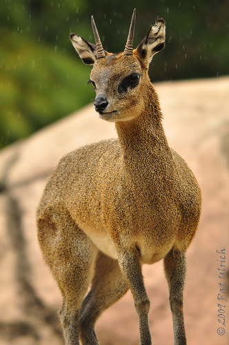 Klipspringer in the rain