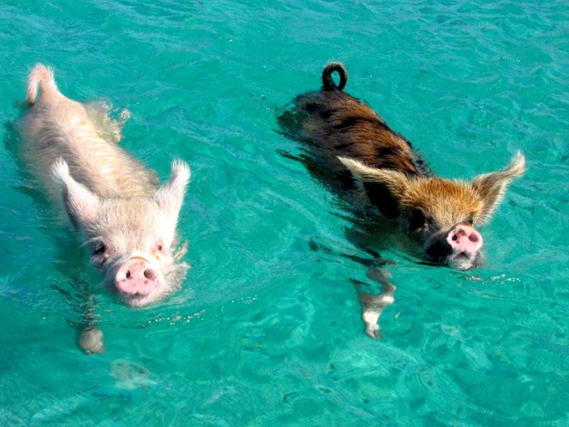 Плавающие свиньи на Багамских островах. Фото
