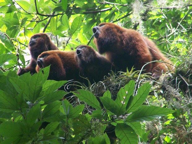 Resultado de imagem para fotos de macacos bugios